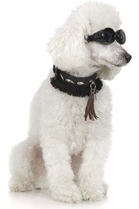3. Millionaire Pets: Toby Rimes (Poodle), $92 million