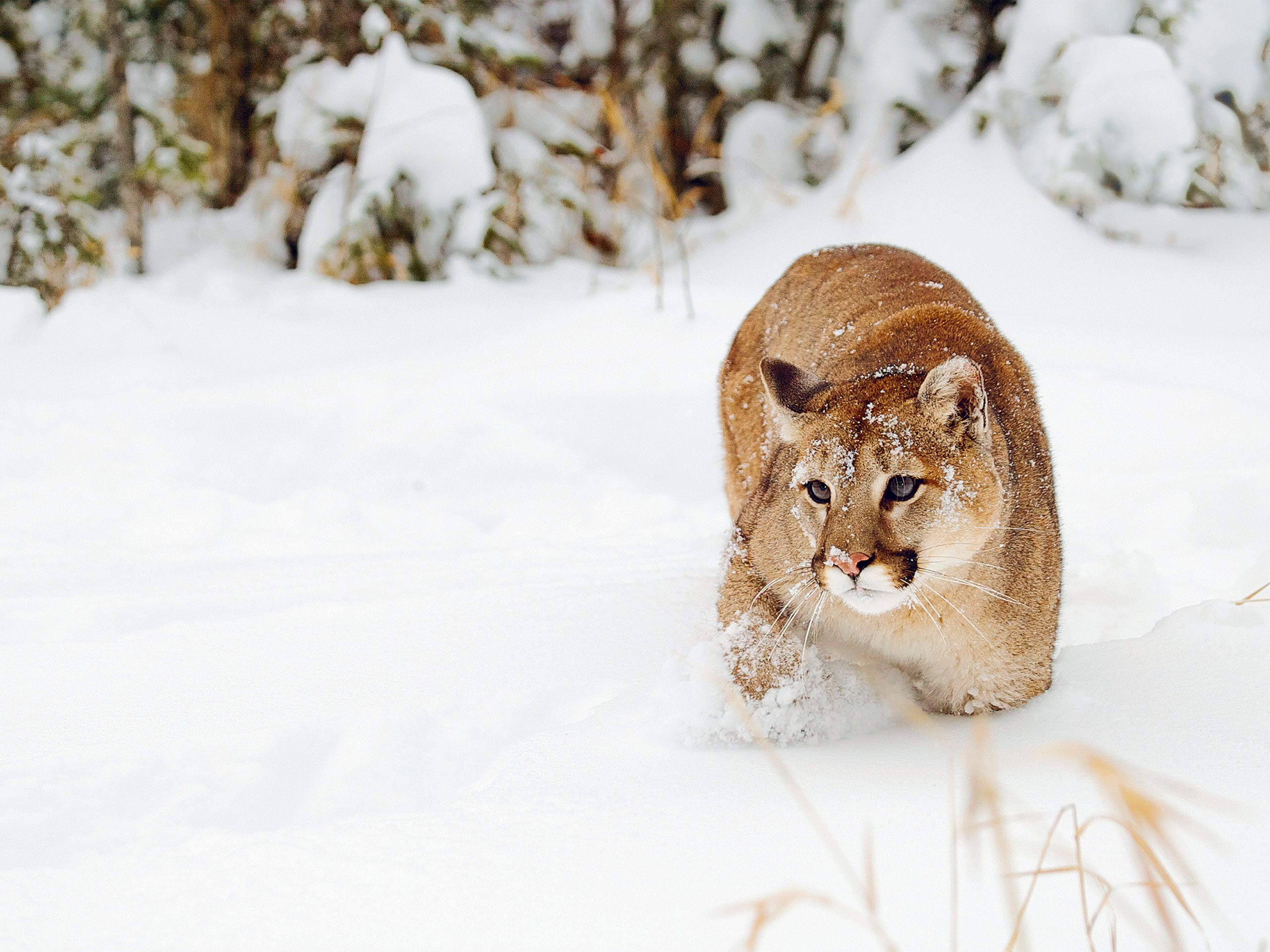 On the Trail of the Killer Cougar