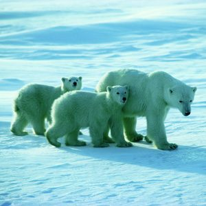 8. Being Canadian: Polar Bears