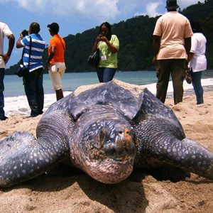 Trinidad's Leatherback Sea Turtles