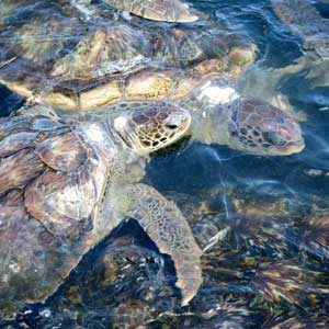 4. Spend Some Time With Sea Turtles