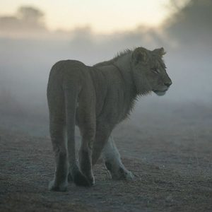 5. Zimbabwe: Lion Rehabilitation