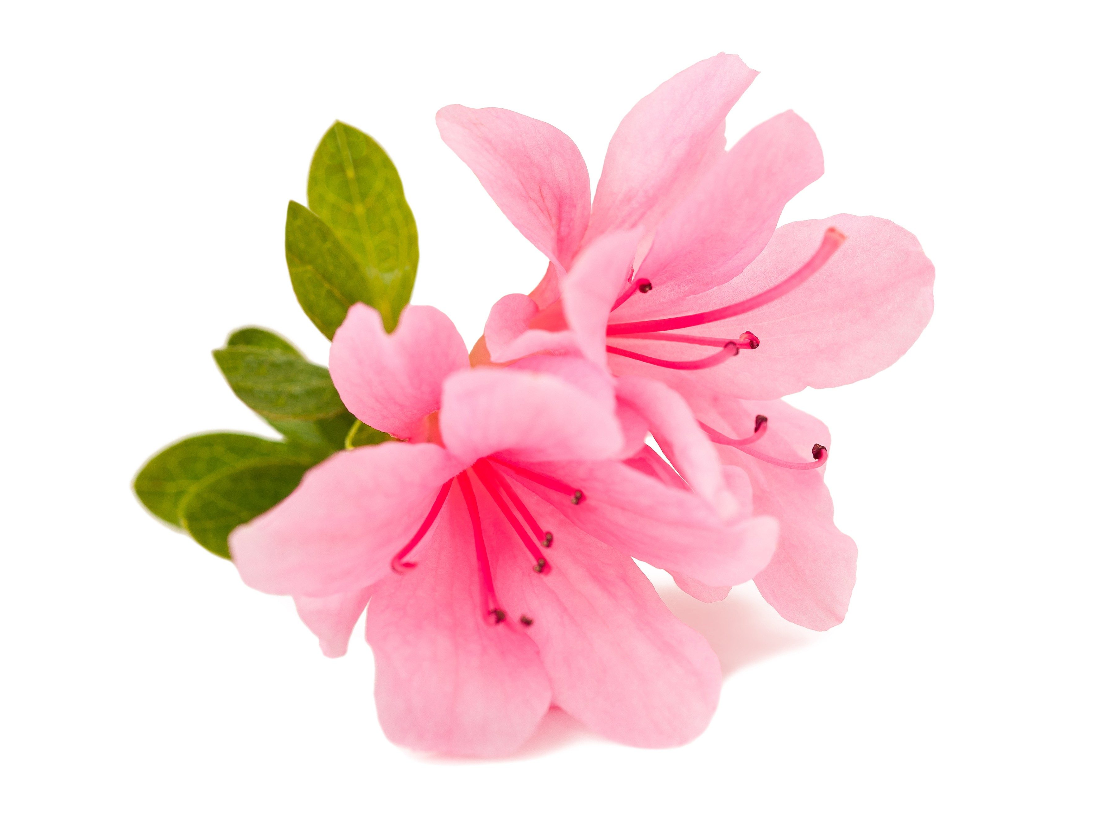 What different flowers mean for mothers day flower meanings azaleas izmirmasajfo Choice Image