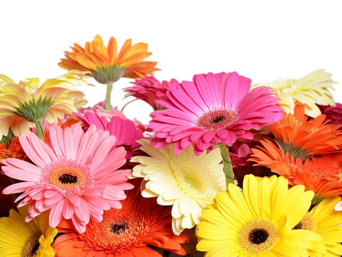 Flower Meanings: Gerbera Daisies