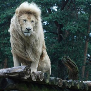 4. South Africa: White Lion Conservation