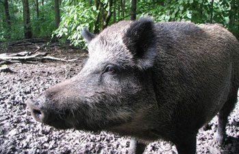 7. Wild Boar