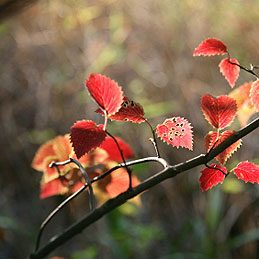 Red-Osier Dogwood and Yellow-Stemmed Dogwood