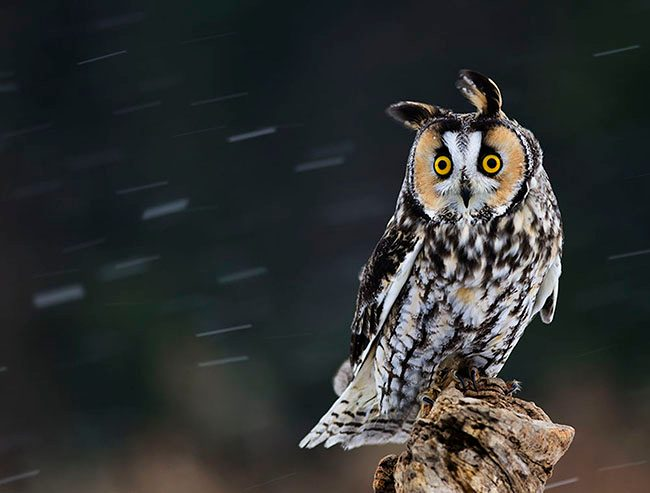 workshop_long-eared_owl_jenstlouis