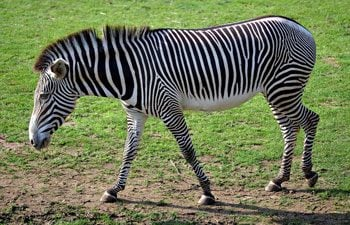 1. Zebra
