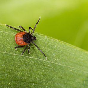 Black legged tick on leaf