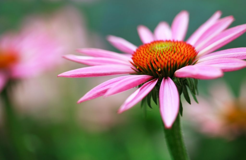 Close-up of echinacea