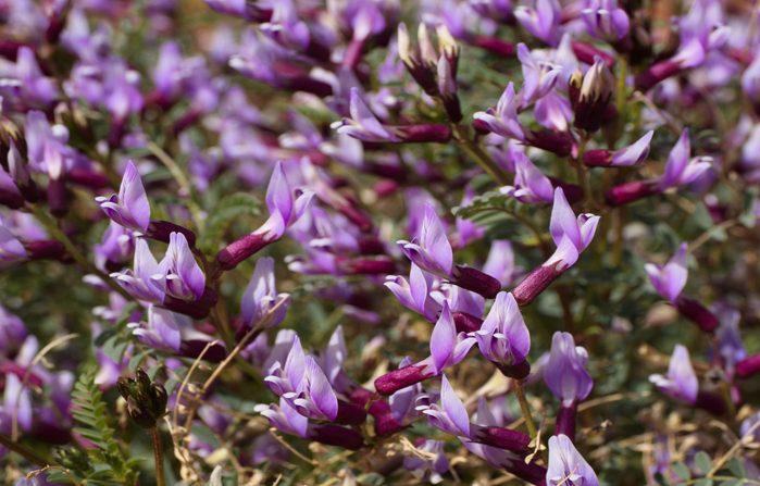 Astragalus supplements