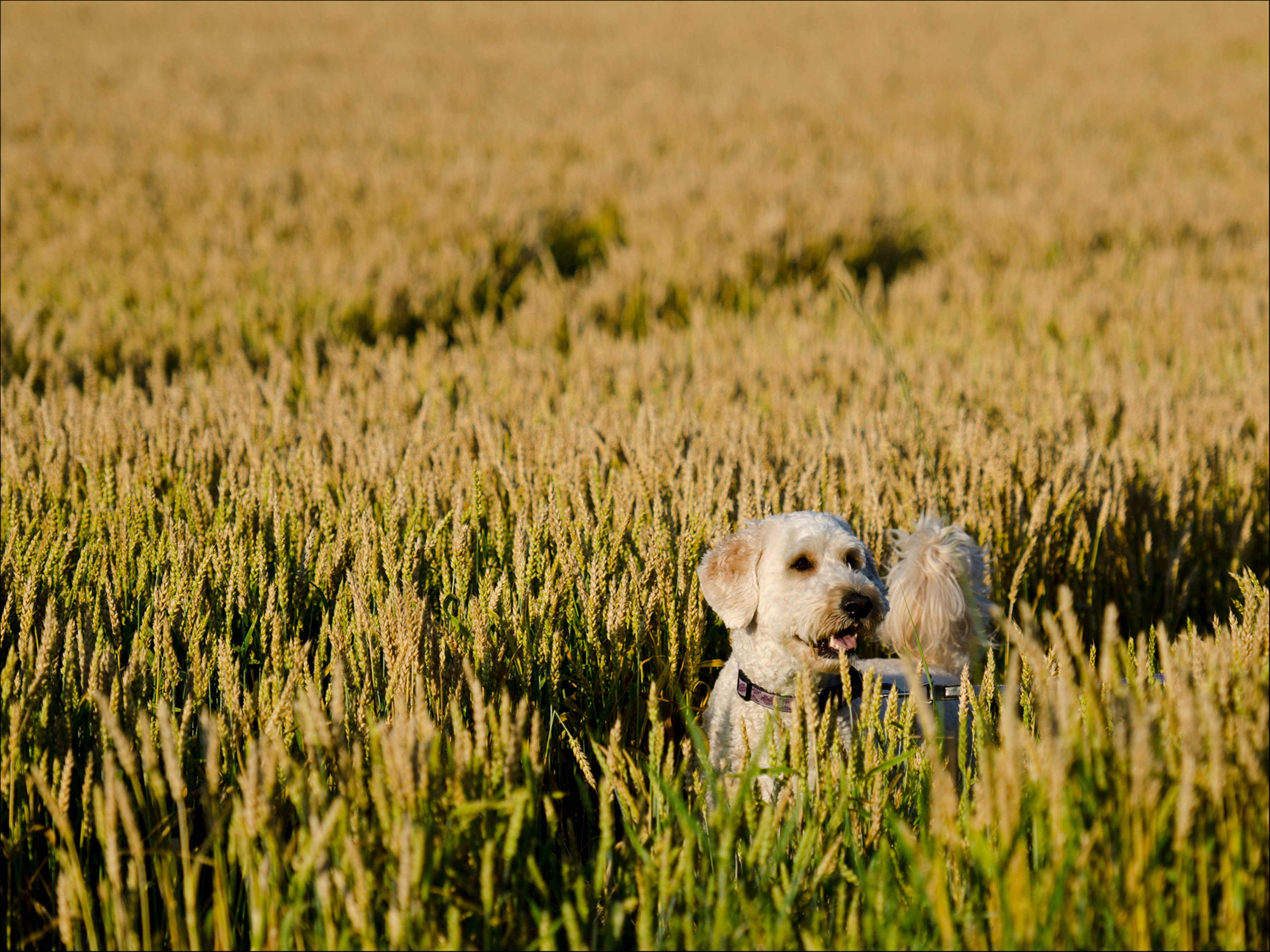 White dog playing in field