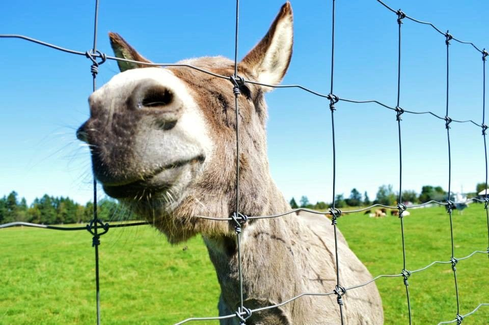 Donkey looking through fence