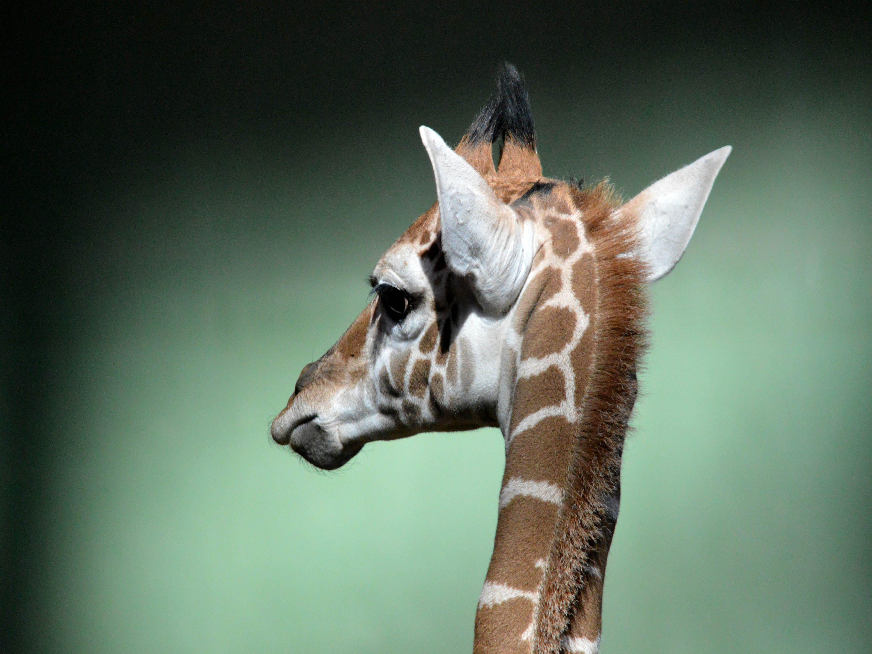Baby giraffe at Calgary Zoo