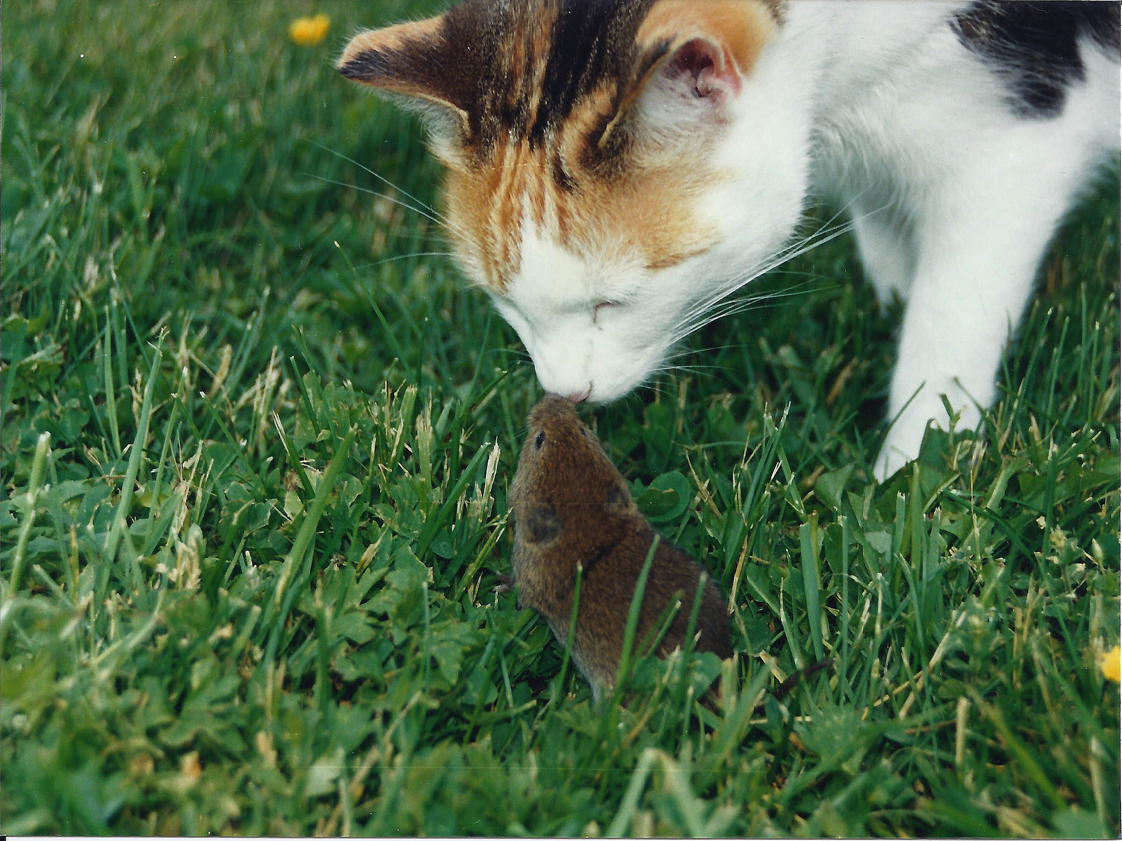 Cat kissing mouse on lawn