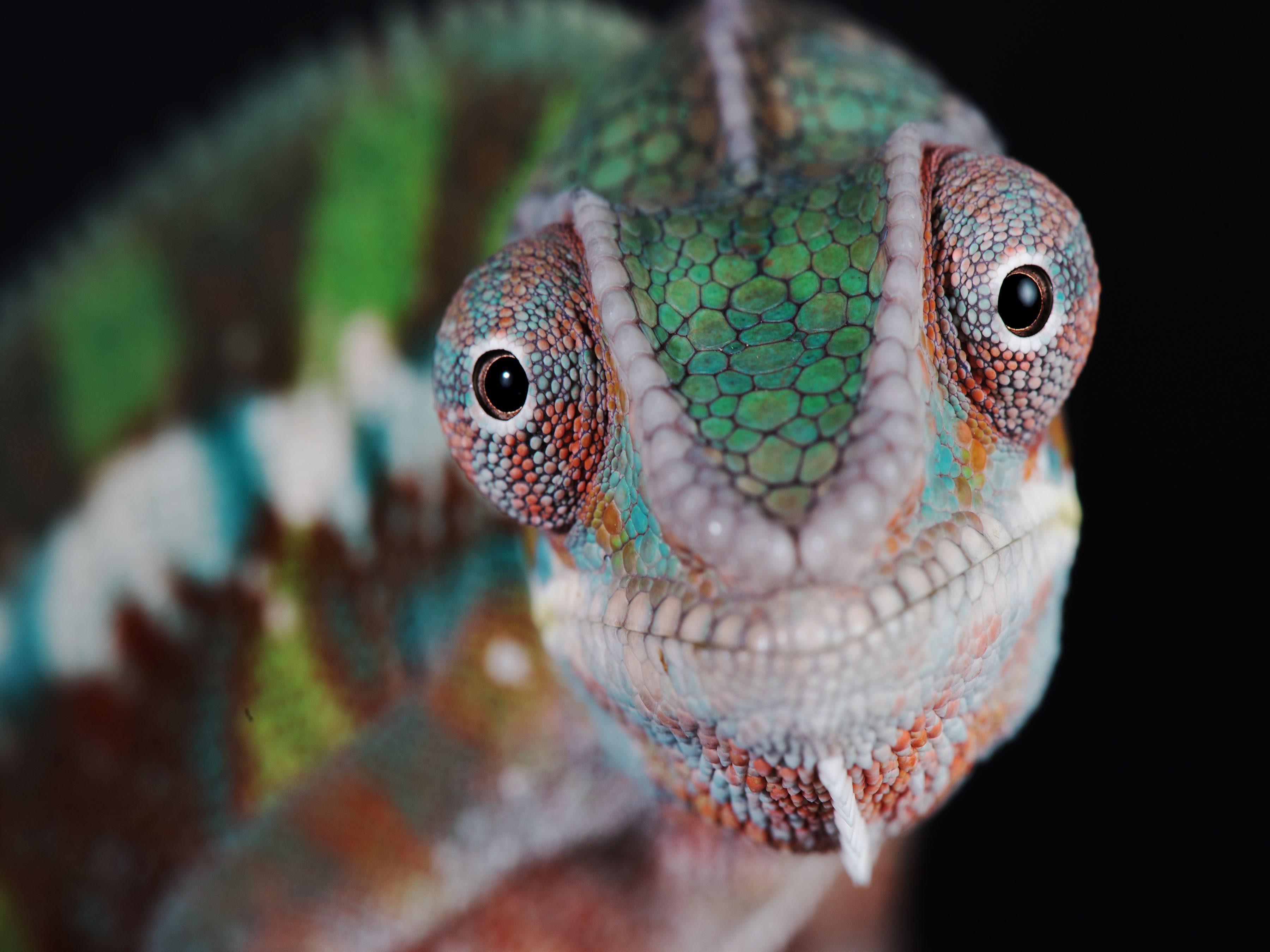 Chameleon smiling