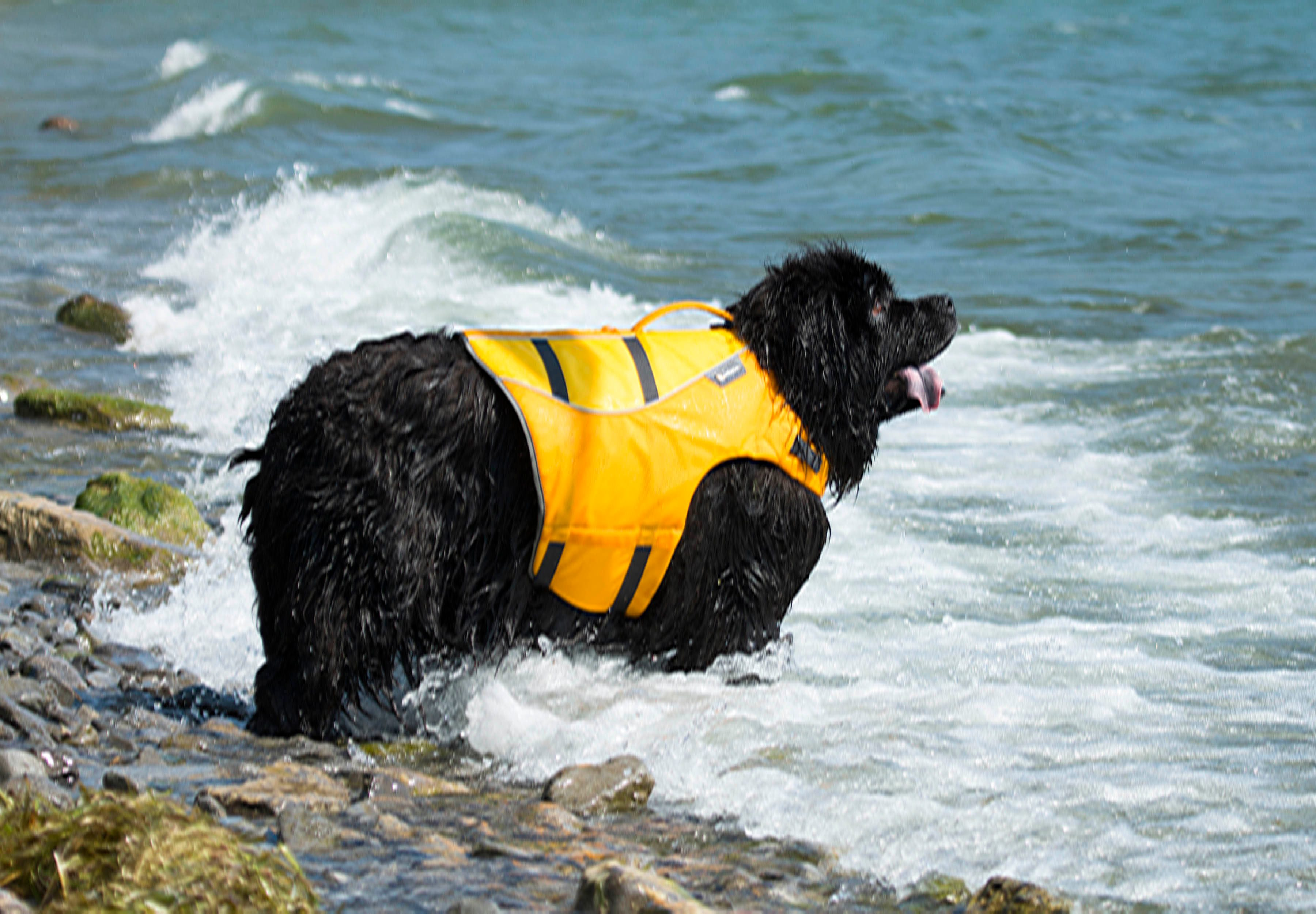 Tillie the dog wearing a life jacket and going for a swim