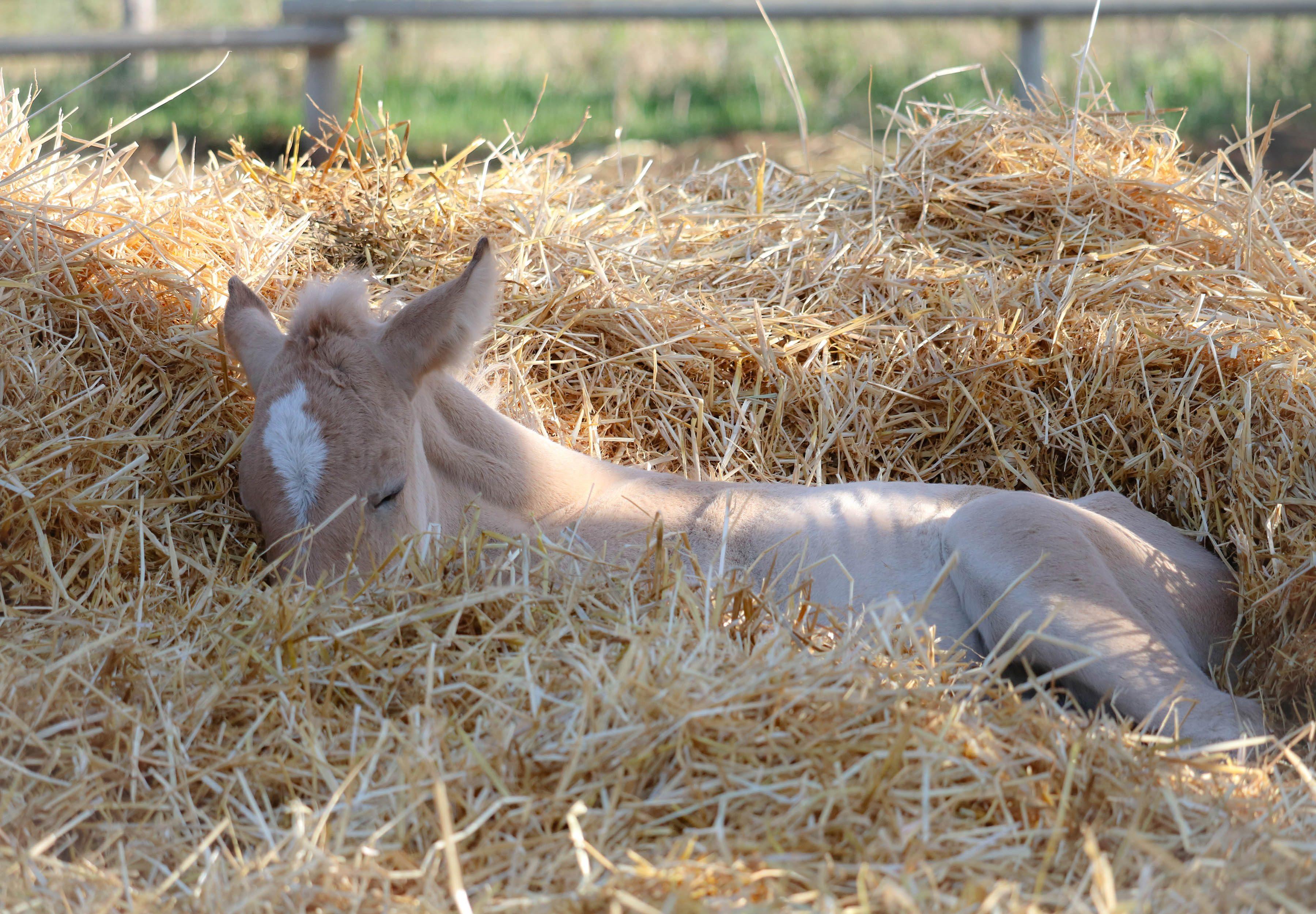 Pony sleeping in the hay