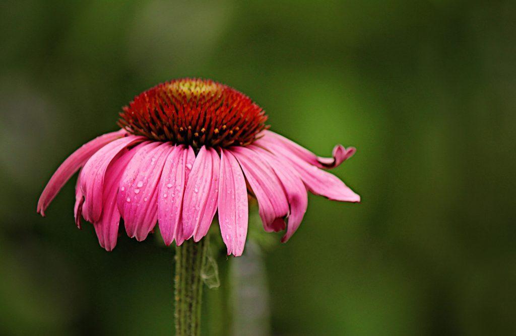 Close-up of purple coneflower