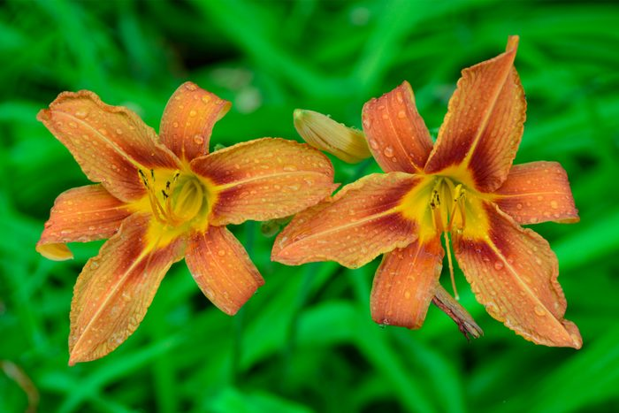 Close-up of orange day lilies