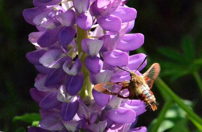 Clearwing moth hummingbird