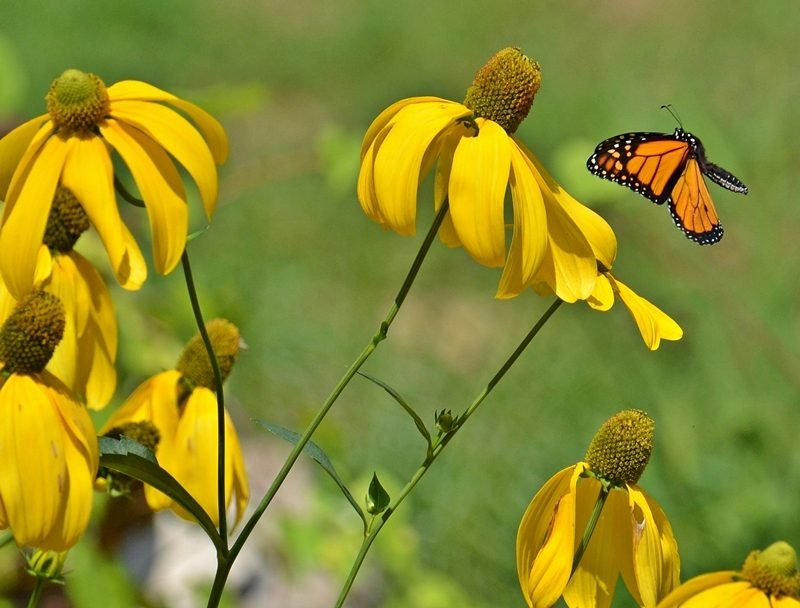 Monarch butterfly craving nectar from yellow flower
