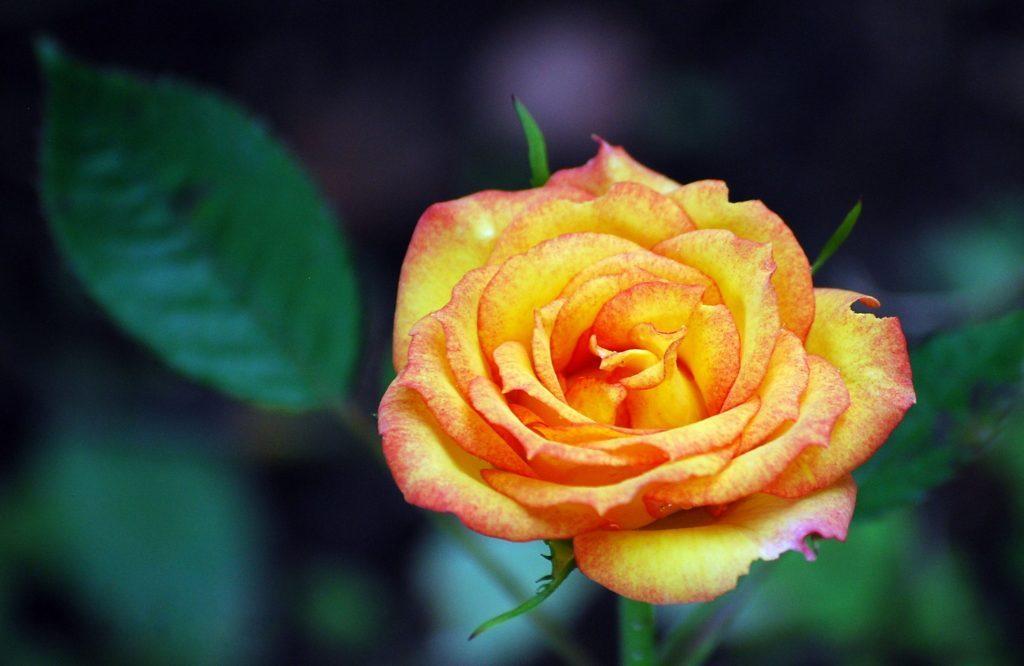 """Orange """"brass band"""" rose"""