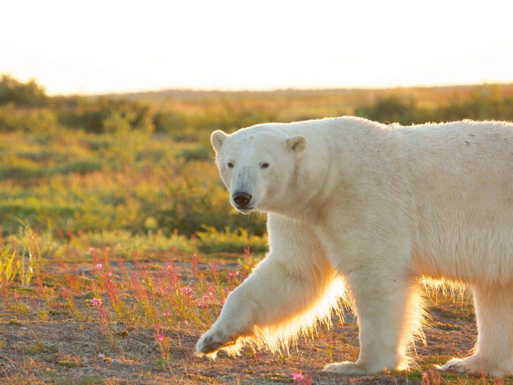 Polar bear in Churchill, Manitoba