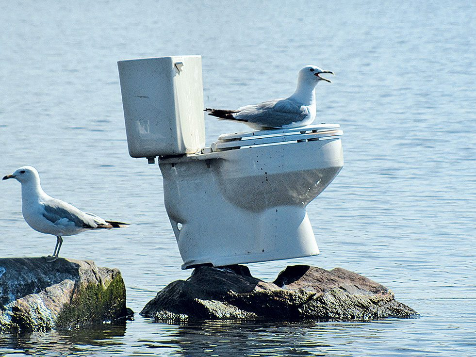Seagull on a toilet