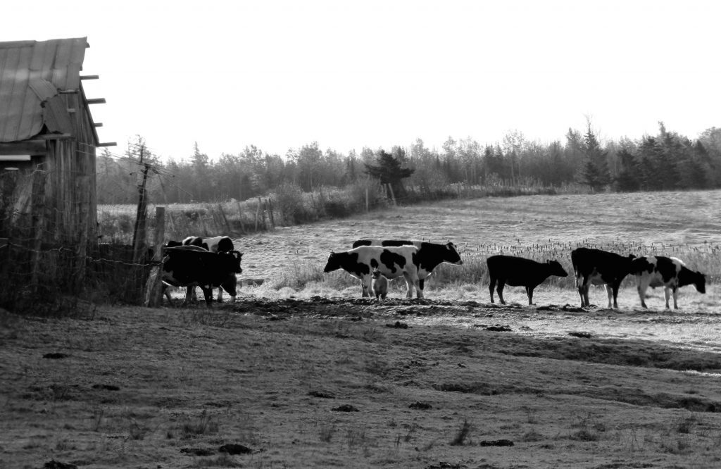 Cows heading out to pasture
