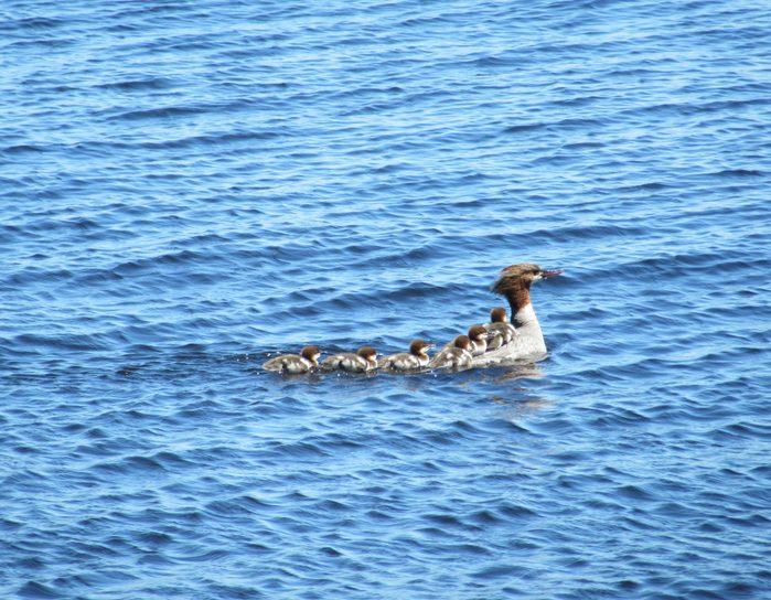 Family of ducks swimming in lake