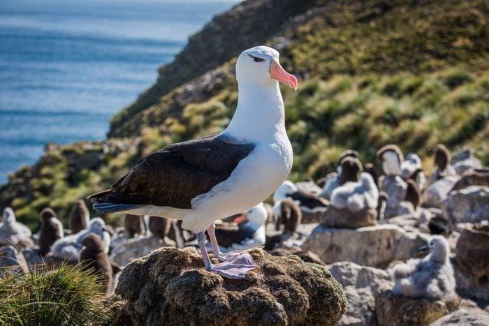 word power test - Albatross on rock colony