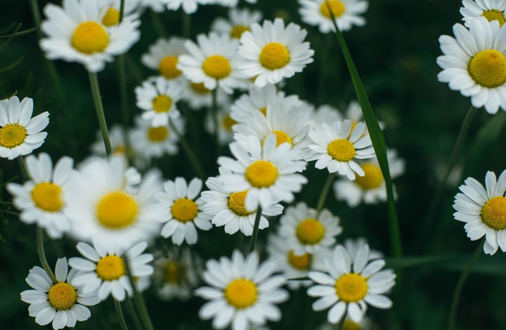 Feverfew medicinal plant