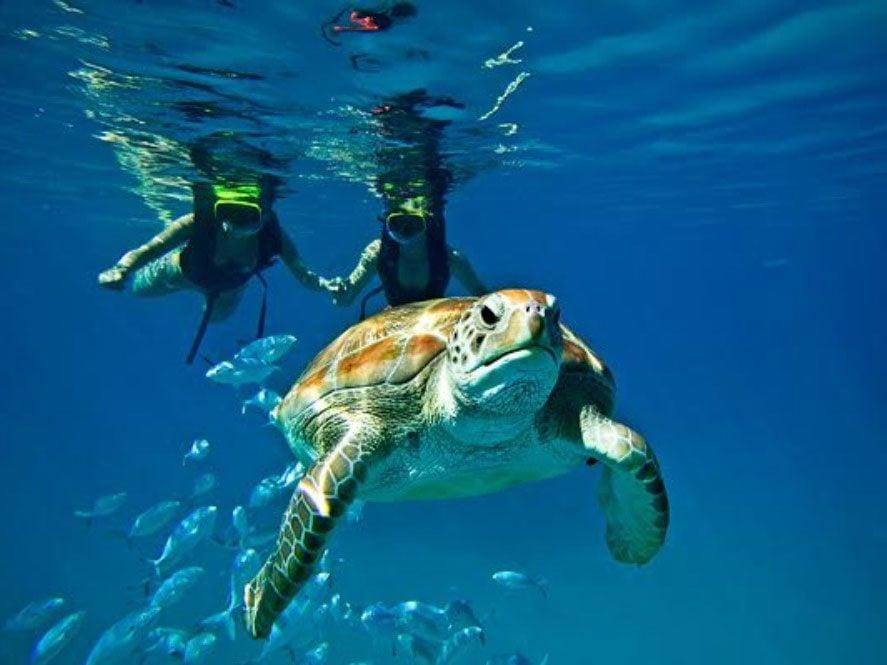Sea turtle swimming in Barbados