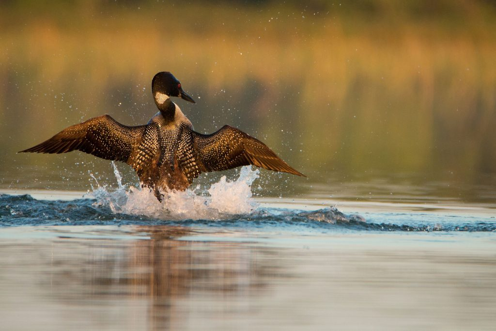 Loon making a splash in Kingston, Ontario