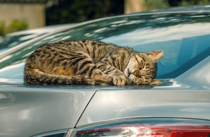Summer Safety Tips For Cats: Cat sleeping on car