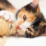 Why Are All Calico Cats Female?