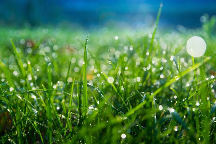 Morning dew on leaves of grass
