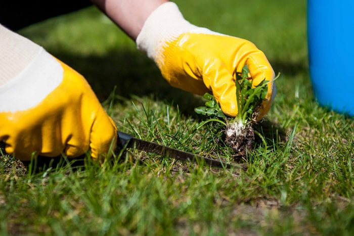 Man removing weeds from his lawn