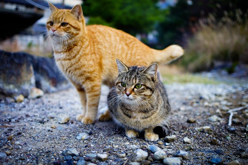 Cats on Tashirojima Island, Japan