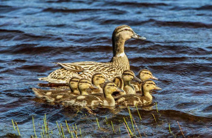 our-canada-big-small-ducks