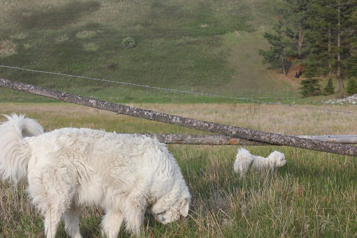 Big and small white dogs in field