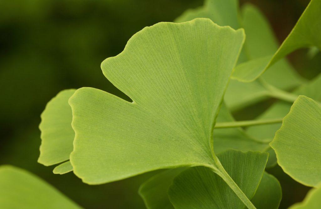 Ginkgo herb