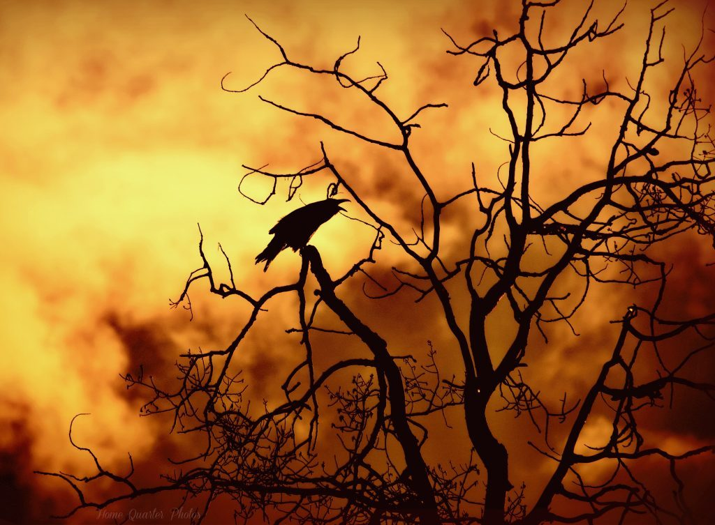 Black crow on Poplar tree