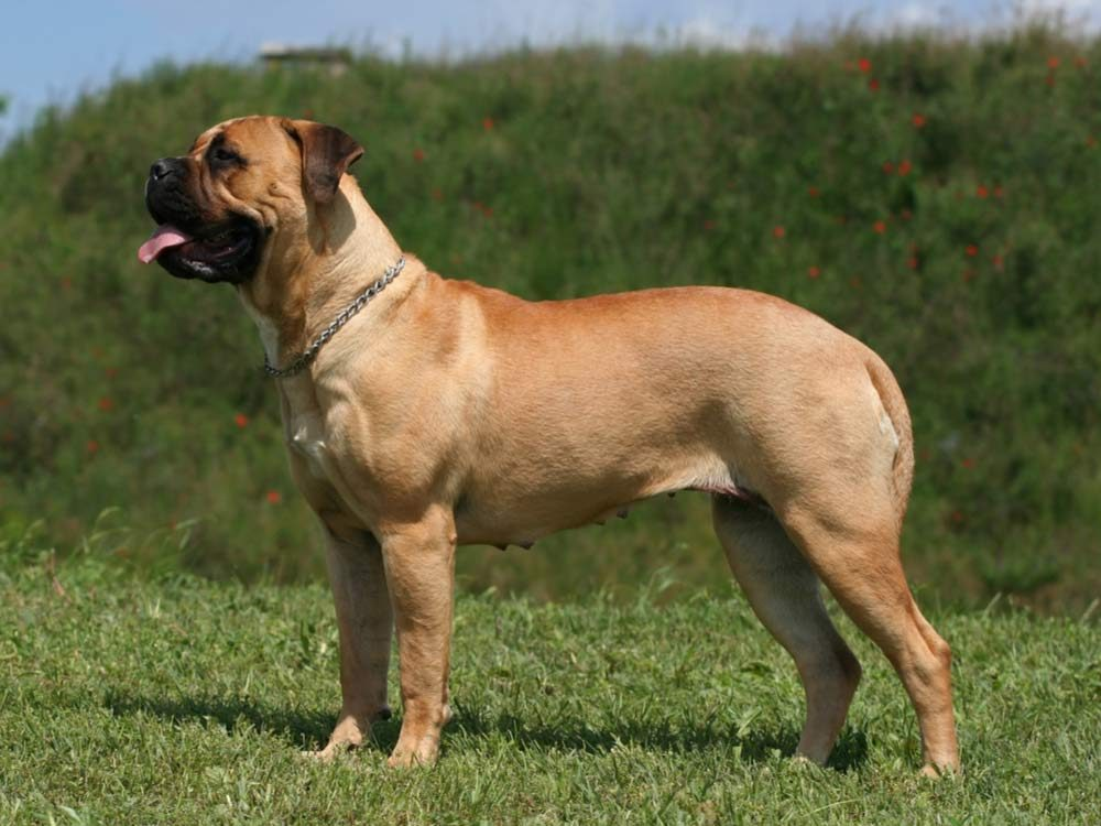 the 9 largest dog breeds in the world reader s digest