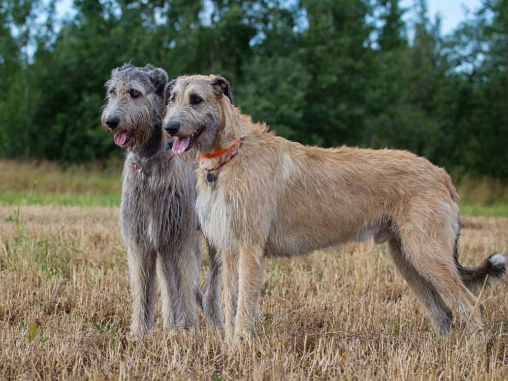 The 9 Largest Dog Breeds in the World | Reader's Digest