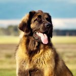 The World's 9 Largest Dog Breeds