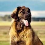 The World's 9 Largest Dog Breeds