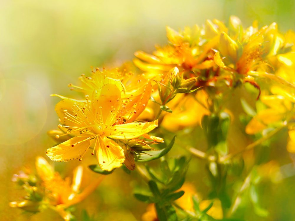 St. John's Wort helps with menopause symptoms